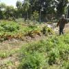 Do qui s'en vient récolter des carottes